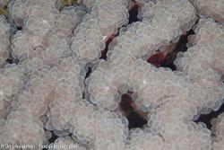 BD-100923-St-Johns-2081-Plerogyra-sinuosa-(Dana.-1846)-[Rounded-bubblegum-coral].jpg